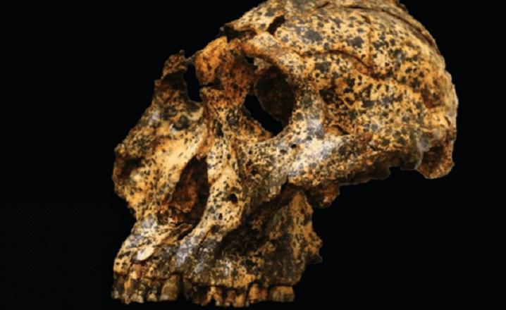 Primo Humano 2 millones de años